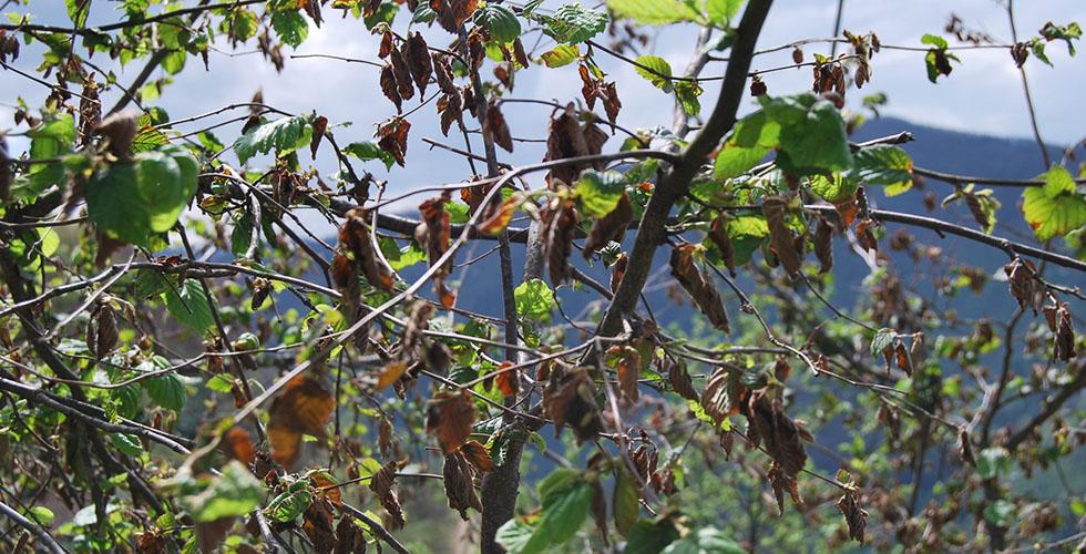 Kuraklık fındık bahçelerini tehdit ediyor