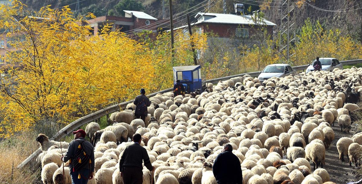 Bakan açıkladı: Köyüne dönene 300 koyun artı maaş