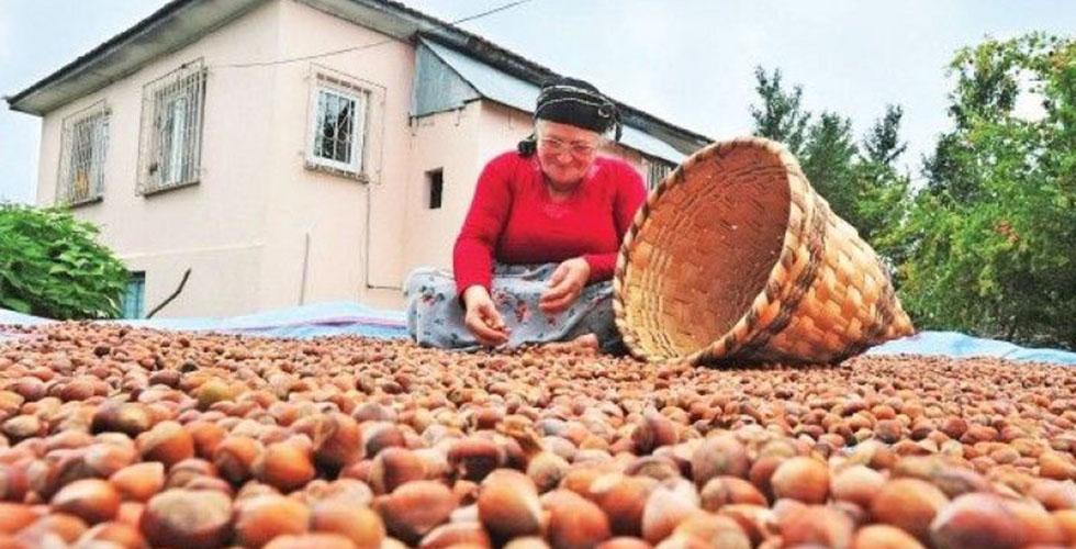 Türkiye'nin dünya fındık pazarındaki payı arttı