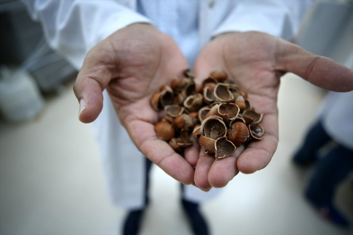Fındık atıklarından kemoterapi ilacı etken maddesi üretildi