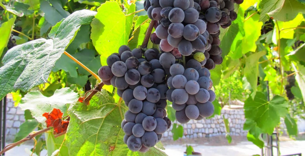 Trabzon'da kokulu üzümün üretimi arttırılıyor