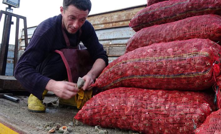 Trabzon'da balıkçıların alternatifi deniz salyangozu
