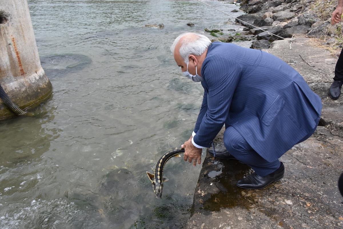 Nesli tükenmekte olan mersin balığı Karadeniz ile buluştu
