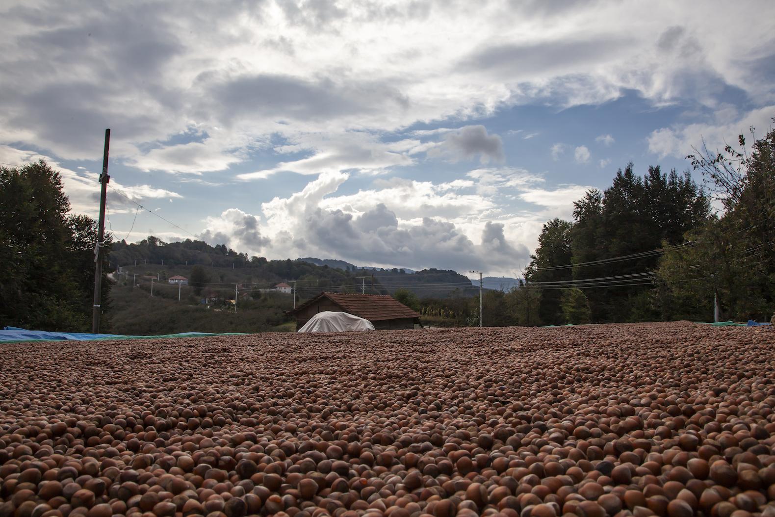 Fındığı yerden toplama ürün kalitesini yükseltiyor