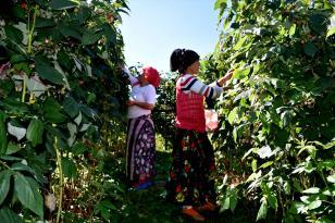 Ahududunun Trabzonlu üreticilere yeni gelir kapısı olması hedefleniyor