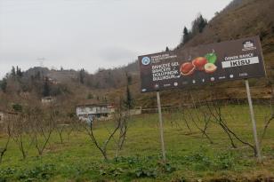 Trabzon'da fındık üreticilerine 20 bin fidan dağıtıldı