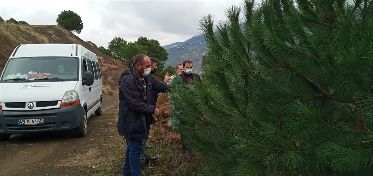Trabzon'da çam fıstığı yetiştiriciliği yeni gelir kapısı olacak