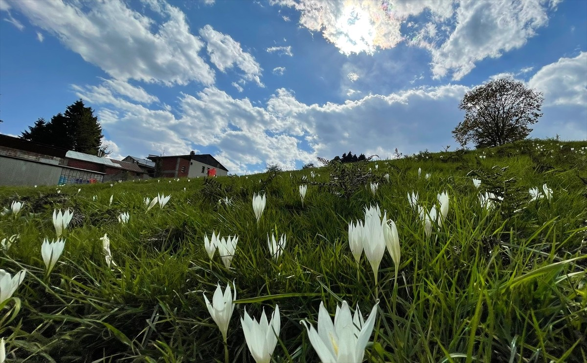"""Trabzon yaylalarındaki """"vargit"""" çiçekleri doğayı süsledi"""